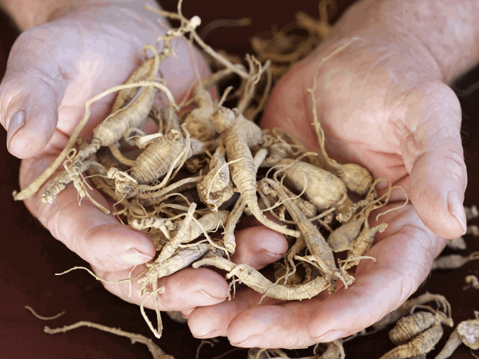 two hands show off some ginseng